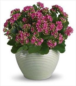 Photo of Bountiful Kalanchoe - T91-2