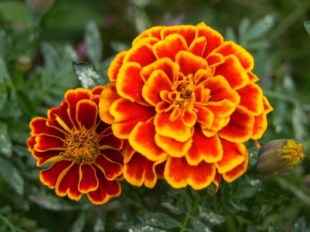 Marigold (October Flower of the Month) - Brant Florist Blog