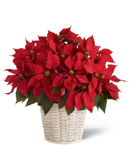 Red Poinsettia Basket Large