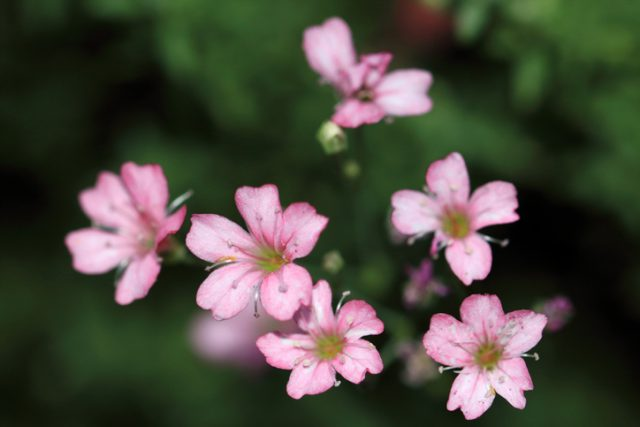 Light pink small flowers