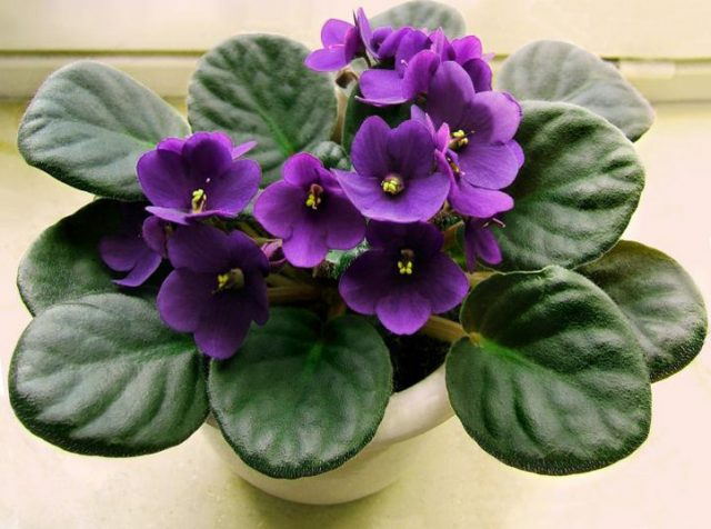 Winter Flowers and Plants African Violet