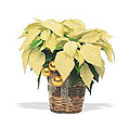 Photo of a White Poinsettia