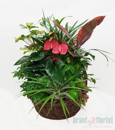 Photo of flowers: Impressive Anthurium Basket