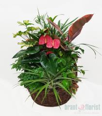 Photo of Impressive Anthurium Basket - BF1217