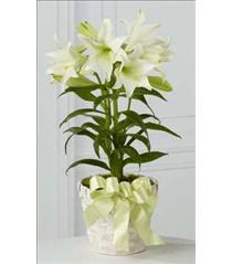 Photo of Easter Lily Multiple Plants - B26-4429