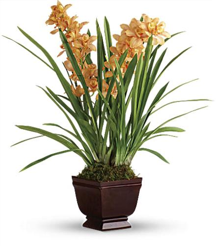 Photo of flowers: Regally Yours Orchid TPL04-1