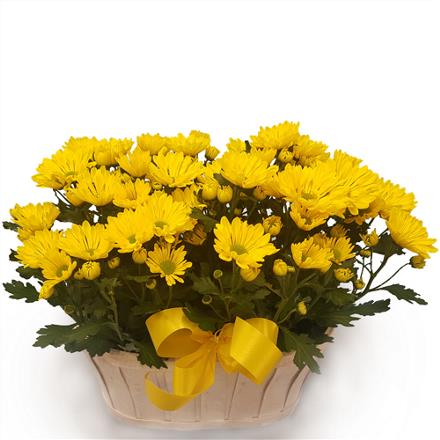 Photo of flowers: Double Mum Plants in Basket