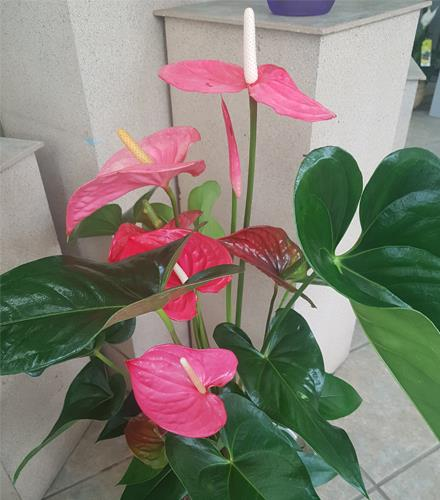 Photo of flowers: Pink Anthurium BF11157