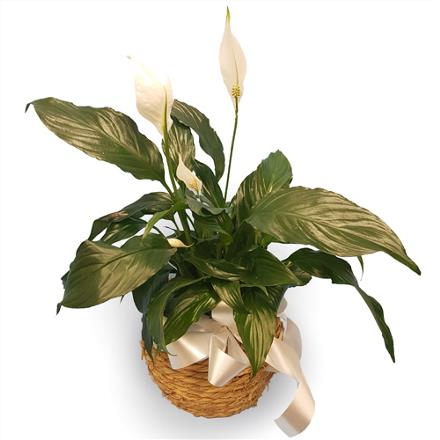 Photo of flowers: Peace Lilly in rope basket BF11163