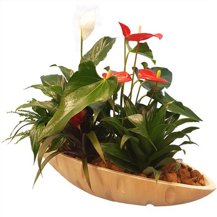 Photo of flowers: Anthurium Ceramic Boat BF11166