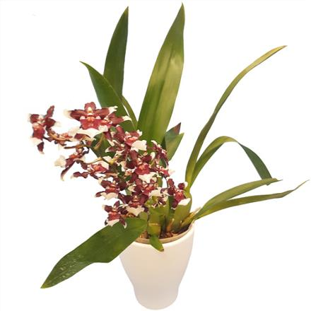 Photo of flowers: Purple Oncidium Orchid Plant BF11168