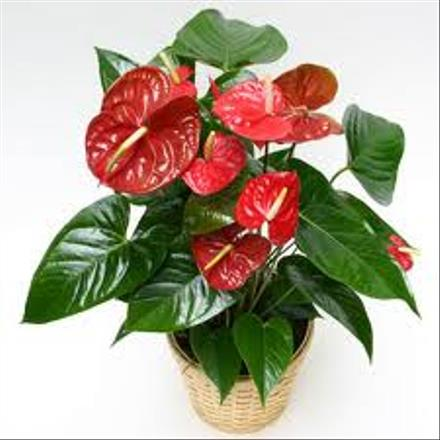 Photo of flowers: Anthurium Plant   BF1129
