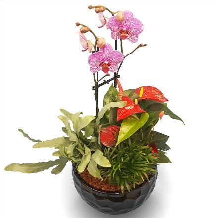 Photo of flowers: Orchid Anthurium PLanter BF11391