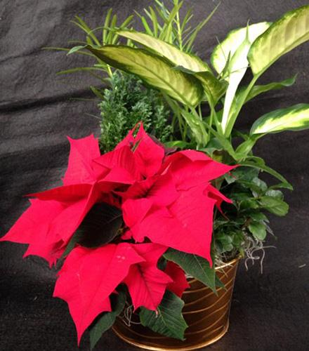 Photo of flowers: Holiday Planter #3 with Poinsettia