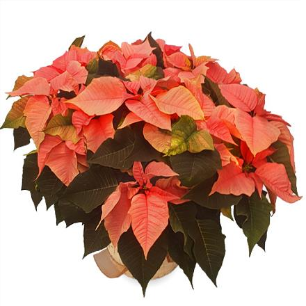 Photo of flowers: Pink Poinsettia