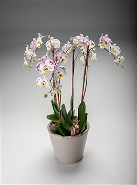Photo of flowers: Orchid Plant Garden