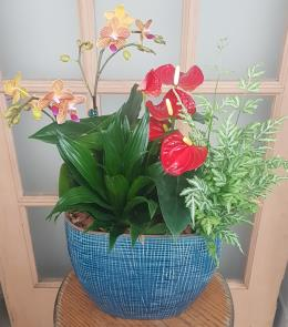 Photo of flowers: Anthurium / Orchid blue ceramic planter