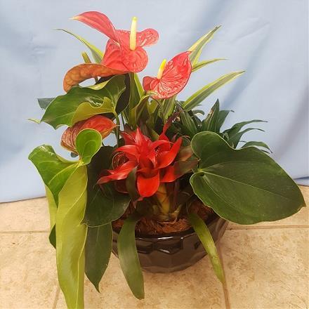 Photo of flowers: Anthurium  Planter 11533