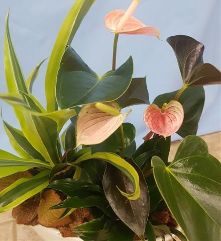 Photo of flowers: Anthurium Planter,  A1