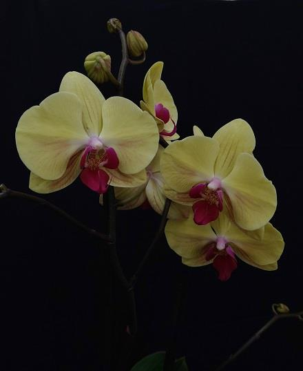 Photo of flowers: Phalaenopsis Orchid Plants----  4 unique colors