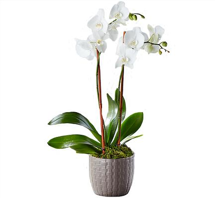 Photo of flowers: Phalaenopsis Orchid Plant White or Purple