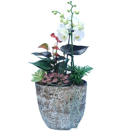 Photo of flowers: Large Impressive Orchid / Anthurium Stone Look Planter