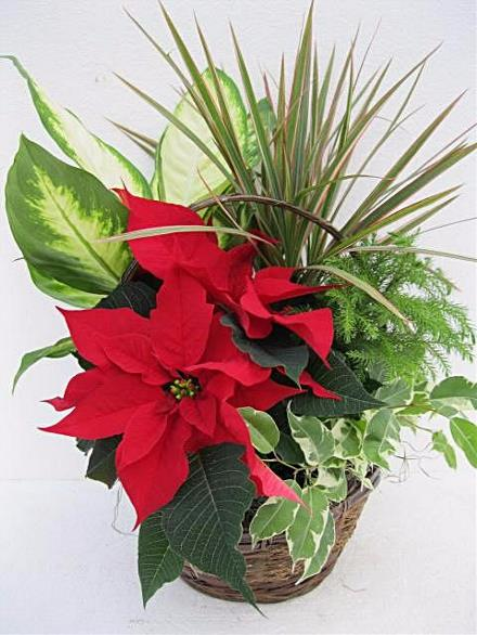 Photo of flowers: Planter with Red Poinsettia