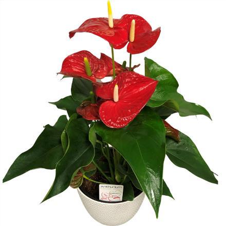 Photo of flowers: Anthurium Plant in Ceramic