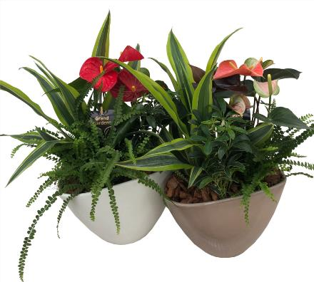 Photo of flowers: Anthurium Planter Eillen