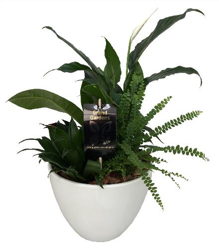 Photo of flowers:  Peace Lily Planter in Ceramic Lg