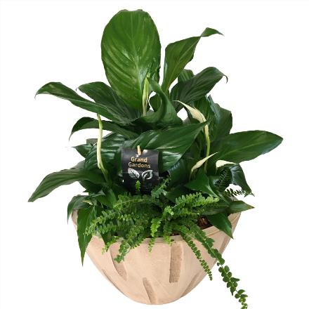 Photo of flowers: New Cream Ceramic  - With 3 blooming peace lily plants