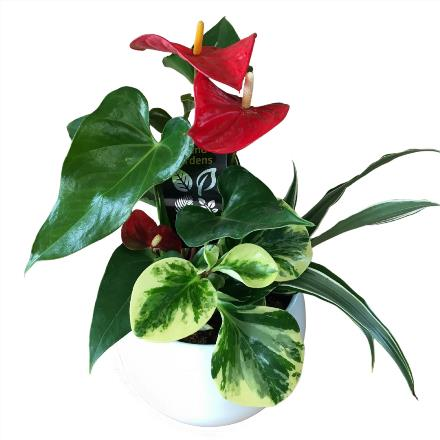Photo of flowers: White Round Anthurium Planter