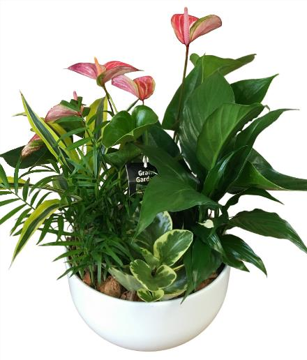 Photo of flowers: White Ceramic GL Anthurium Planter