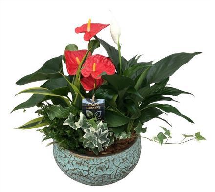 Photo of flowers: Anthurium  - Crackle Ceramic Planter