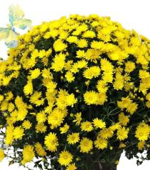 Photo of flowers: Large Outdoor Chrysanthemum Plant