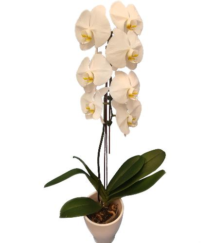 Photo of flowers: Orchid Plant White Waterfall