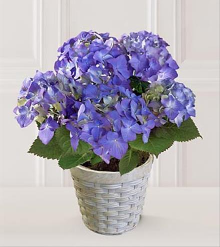 Photo of flowers: Hydrangea  Blue or Cream