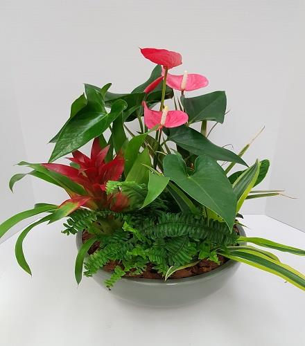 Photo of flowers: Mixed Anthurium Planter