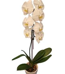 Photo of Phalaenopsis Orchid Plant - White - BF1236