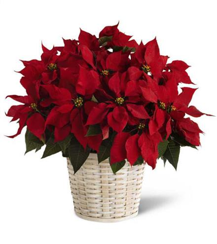Photo of flowers: Red  Poinsettia   Large