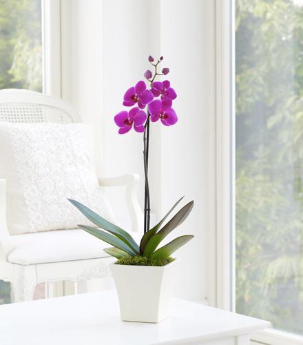 Photo of flowers: Mauve Phalaenopsis Orchid Plant