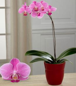 Photo of Dream's Discovery Phalaenopsis Orchid - PO47