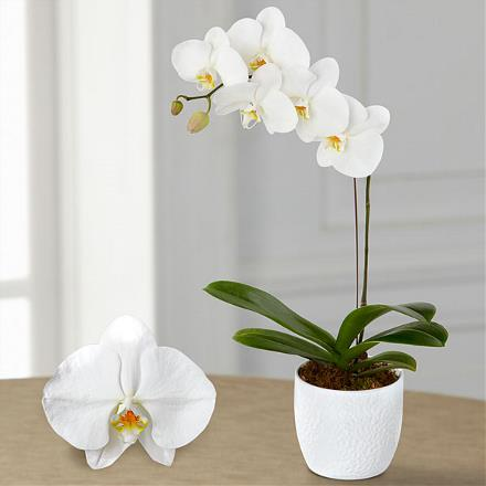 Photo of flowers: Joyful Phalaenopsis Orchid Plant