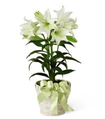Photo of Easter Lily Plant - B26-4429