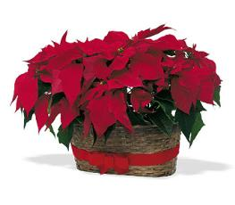 Photo of Double Poinsettia Basket - TF84-2