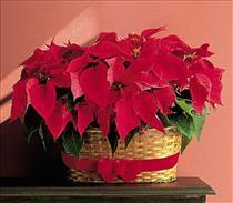 Photo of Double Poinsettia Basket - TF84-2