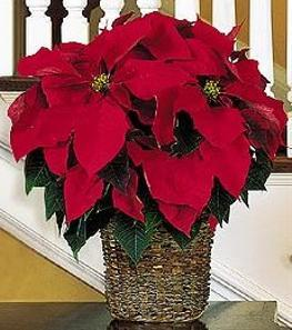 Photo of Poinsettia  - TF88-1