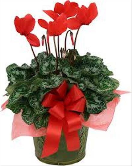 Photo of flowers: Cyclamen Red