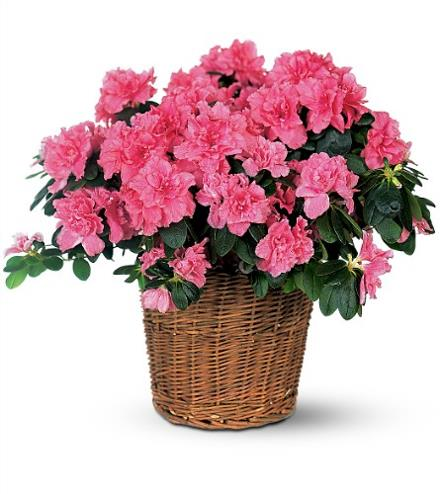 Photo of flowers: Azalea Blooming Plant