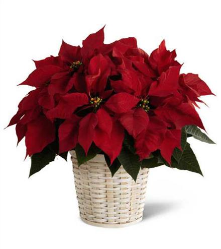 Photo of flowers: Red Poinsettia in Basket